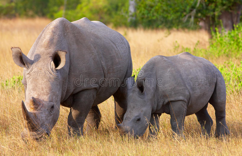 Large white rhinoceros with calf. Large white (square-lipped) rhinoceros (Ceratotherium simum) with calf eating in the nature reserve in South Africa stock photo