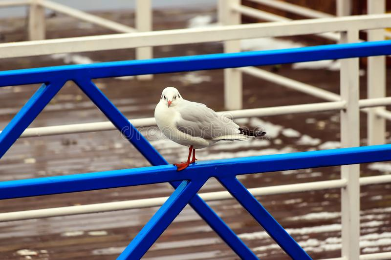A large white river or sea gull sits on a blue metal fence against a background of water in the fog.Autumn, winter or spring scene stock image