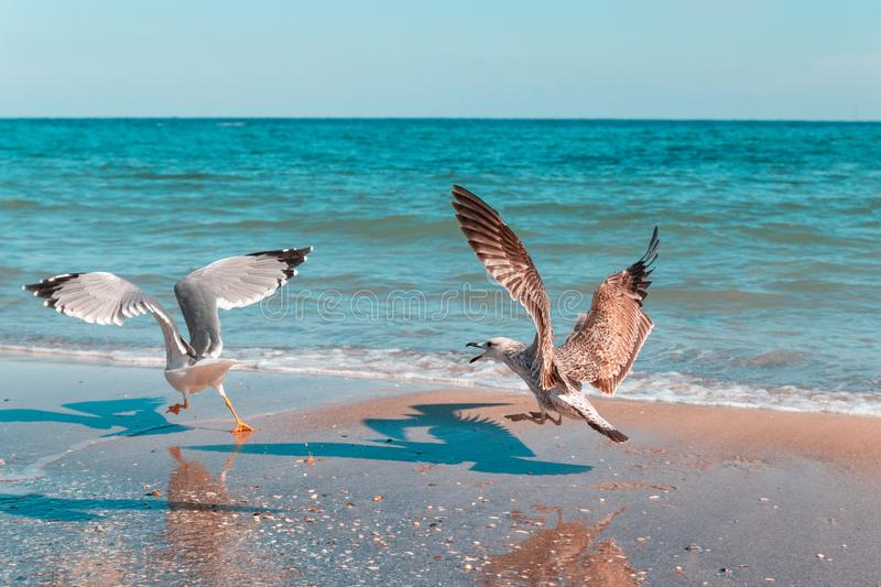 A large white seagull chases another bird by the sea on a sunny day. Angry bird hunting for food. Angry bird hunting for food. A large white seagull chases stock photos