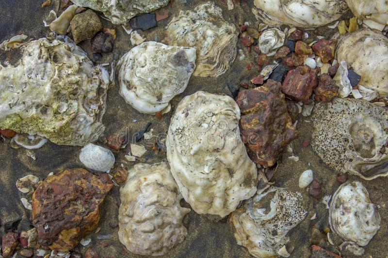 Large white seashells in dark sand with red stones close-up. natural surface texture stock images