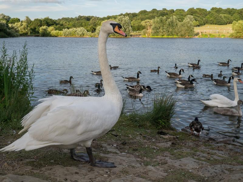 Large white swan standing beside a lake with geese and wildlife in th4e water royalty free stock photos