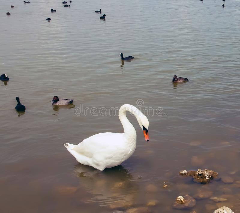 A large white swan on the water, with little black swans royalty free stock photography