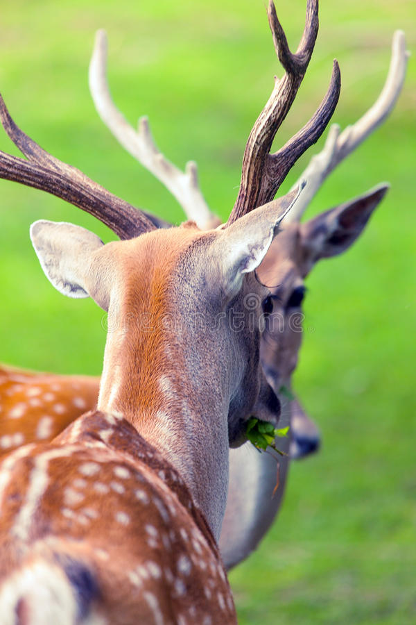 Download Large whitetail buck stock photo. Image of portrait, horns - 26328616