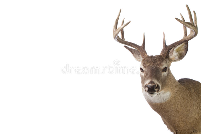 Large whitetail buck isolated on white stock images