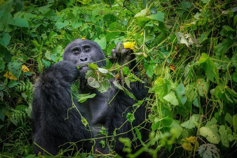 A large wild, male silverback mountain gorilla eating in a forest. royalty free stock image