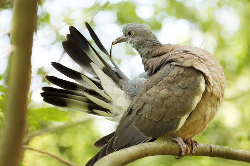 Large wood pigeon. stock photography