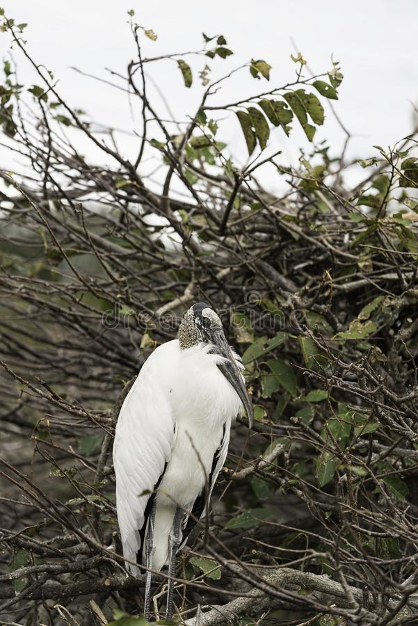 Wood stork on a tree royalty free stock image