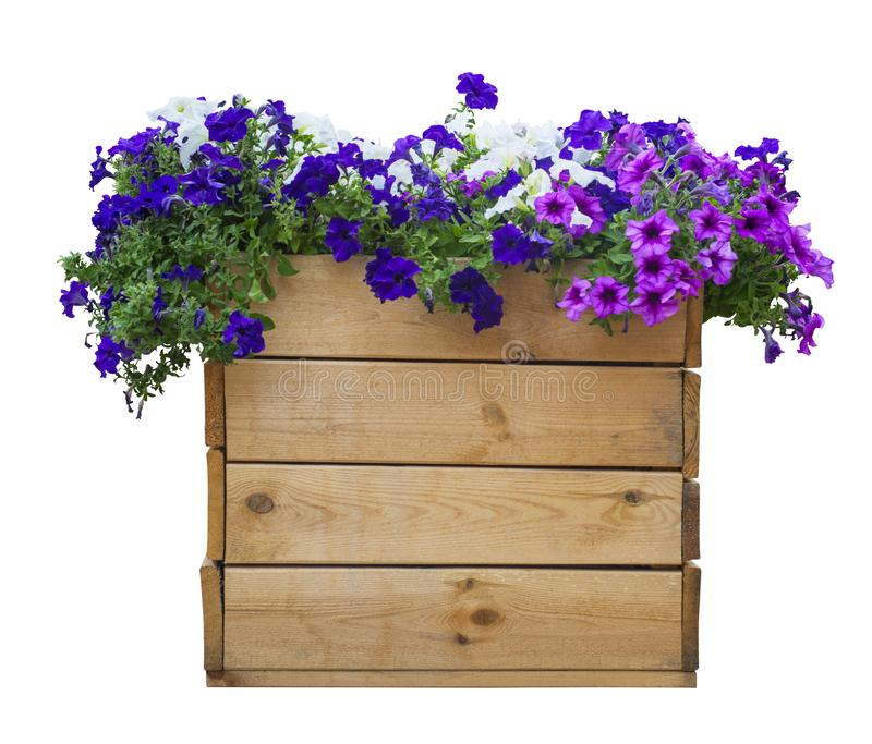 Large wooden pot of petunias isolated on white royalty free stock photo