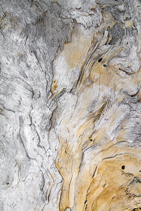 A large wooden trunk carved from the sea and from time hides imaginative shapes in the texture of its natural veins. A large wooden trunk carved from the sea and stock photos