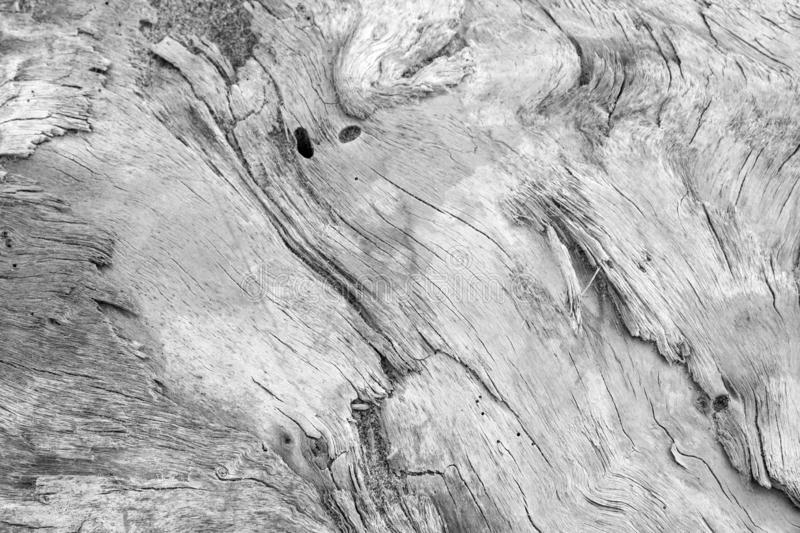 A large wooden trunk carved from the sea and from time hides imaginative shapes in the texture of its natural veins. A large wooden trunk carved from the sea and royalty free stock image