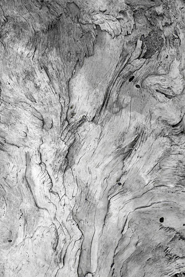 A large wooden trunk carved from the sea and from time hides imaginative shapes in the texture of its natural veins. A large wooden trunk carved from the sea and stock photo