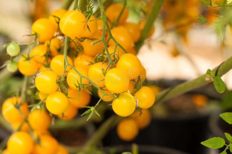 Close up yellow cherry tomatoes hang on trees growing in greenhouse in Israel. Large yellow cherry tomatoes hang on trees growing in greenhouses in the kibbutz royalty free stock image