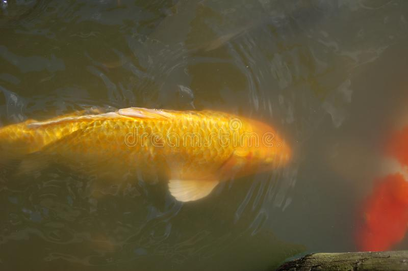 Large Yellow Fish in a Pond with white spine and tail and koi fish. A large yellow goldfish is swimming a pond with green water. The fish has a golden head and stock photo