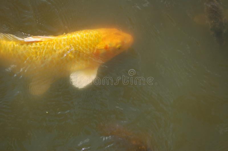 Large Yellow Fish in a Pond with white spine and tail. A large yellow goldfish is swimming a pond with green water. The fish has a golden head and scales. It stock photography