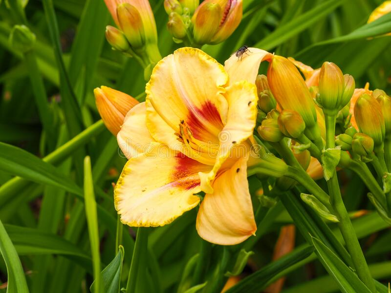 Yellow flower and buds of the daylily Hemerocallis Custard Candy. Large yellow flower, buds and green leaves of the daylily Hemerocallis variety Custard Candy royalty free stock photography