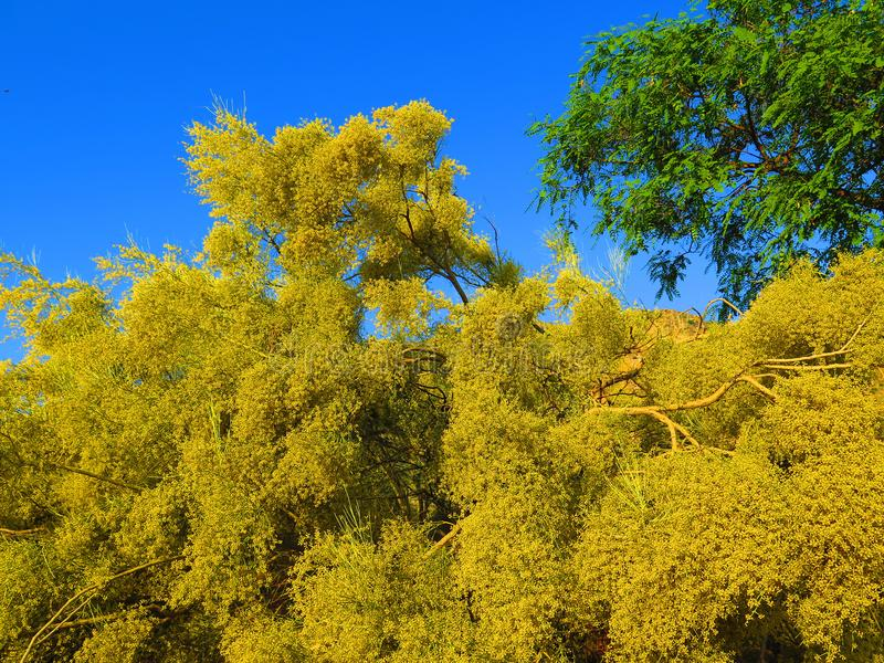 Large yellow flowering shrub stock photos