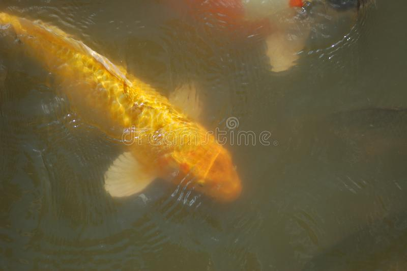 Large Yellow Fish in a Pond with white fins. A large yellow goldfish is swimming a pond with green water. The fish has a golden head and scales. The fish is stock photo