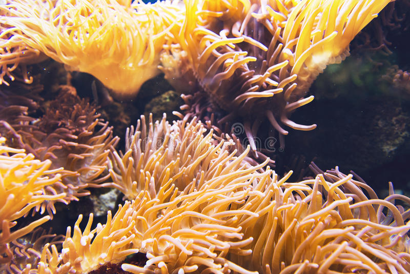 Large yellow sea anemone under water. Large yellow and orange sea anemone organism with outstretched tentacles under water stock image