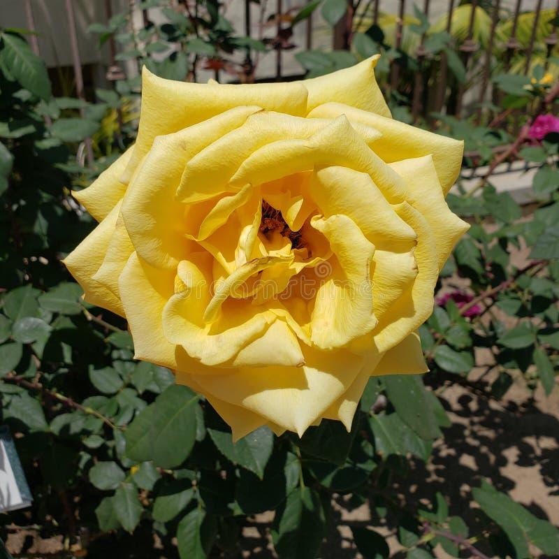 Large yellow single rose in a garden. Bloom, rosa, floweringshrub royalty free stock image