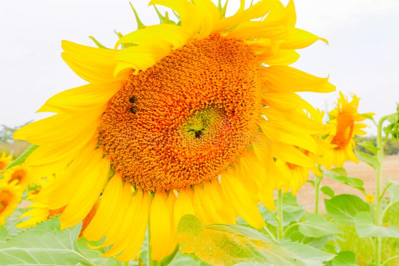 Large yellow sunflower fields and bright sunshine stock photography