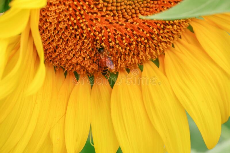 Large yellow sunflower fields and bright sunshine royalty free stock photography