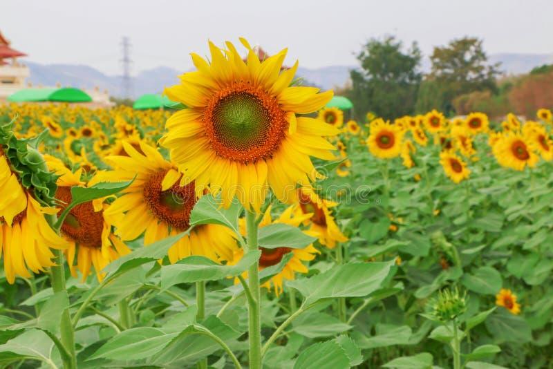 Large yellow sunflower fields and bright sunshine stock image