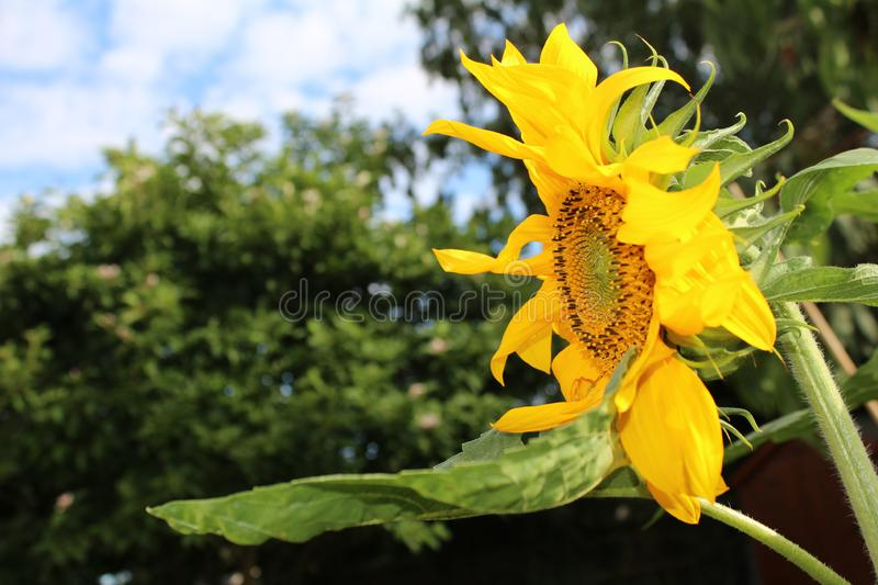 Large yellow sunflower. Full of seeds with green stem and leaves with background foilage stock images