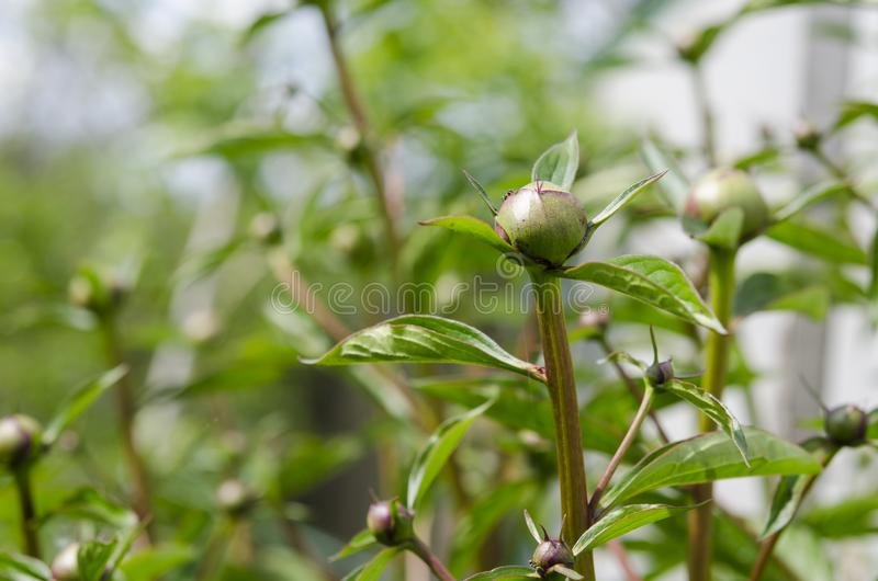 Large young peony buds ready for flowering in the spring garden in the sunshine. Large young peony buds are ready to bloom in the spring garden in the rays of royalty free stock photo