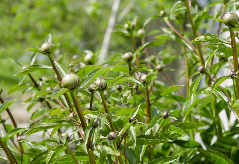 Large young peony buds ready for flowering in the spring garden in the sunshine. Large young peony buds are ready to bloom in the spring garden in the rays of royalty free stock image