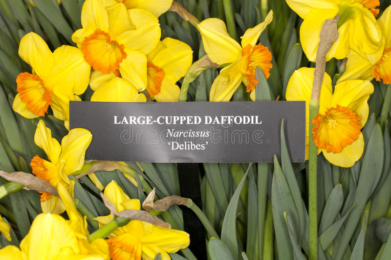 Larged-cupped Daffodil -Delebes- (Narcissus sp). Closeup of a Larged-cupped Daffodil -Delebes- (Narcissus sp) flower in a garden stock photo