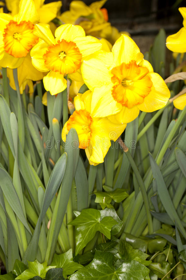 Larged-cupped Daffodil -Delebes- (Narcissus sp). Closeup of a Larged-cupped Daffodil -Delebes- (Narcissus sp) flower in a garden royalty free stock photography
