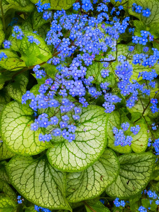 Largeleaf Brunnera Forget-Me-Not Tiny Blue Flower Heart Leaf stock photo