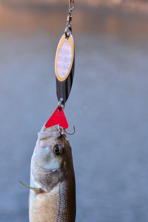 largemouth bas- fisk fotografering för bildbyråer