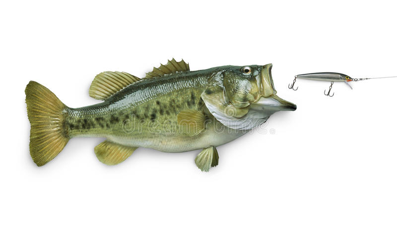 Largemouth bass chasing lure on white stock photo image for White bass fishing lures