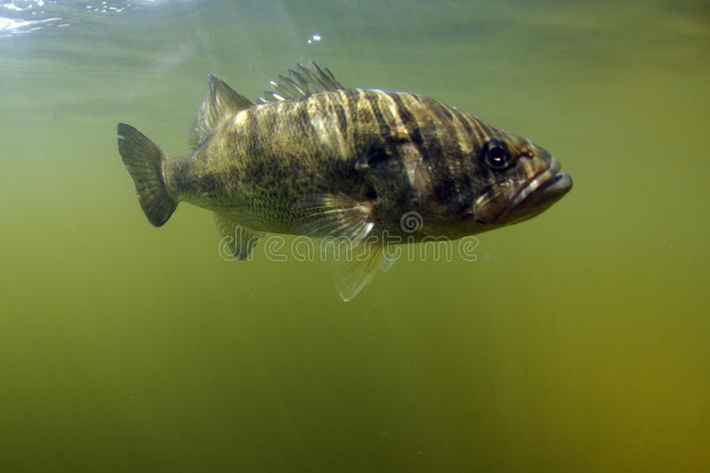Largemouth bass fish. Underwater in ocean in natural habitat royalty free stock photography