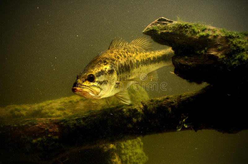 Largemouth bass fish in lake stock photo