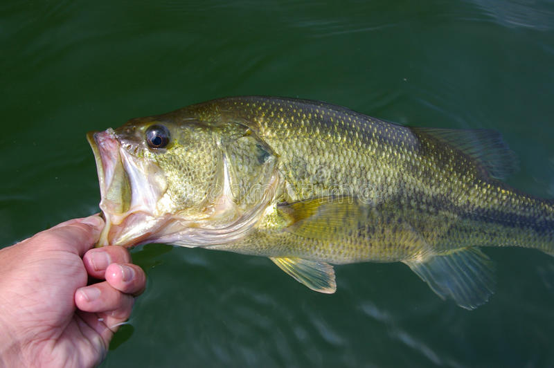 Largemouth Bass Fishing royaltyfri bild