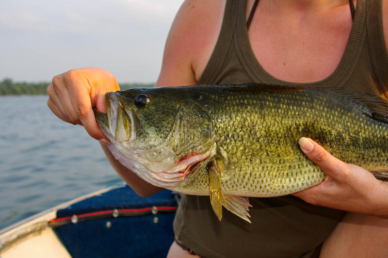 Large Mouth Bass Held By a Woman. A chunky largemouth bass is held by a woman after catching it on a small Ontario lake royalty free stock images