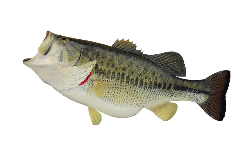 Largemouth bass (Micropterus salmoides) royalty free stock photo