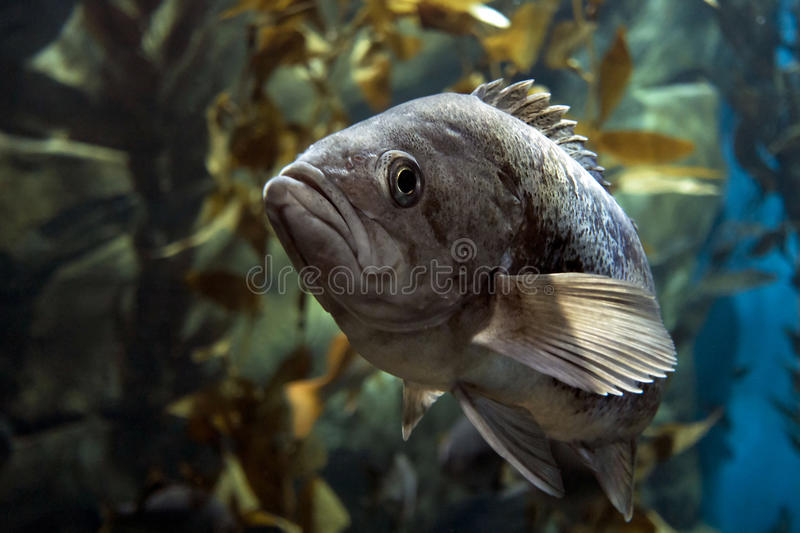 Largemouth bass Micropterus salmoides ,close up detail stock photography