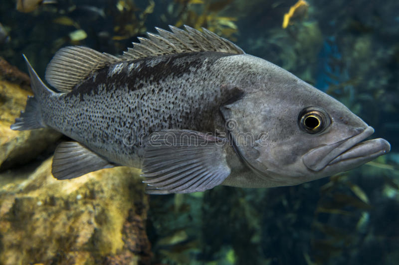 Largemouth bass Micropterus salmoides ,close up stock photo