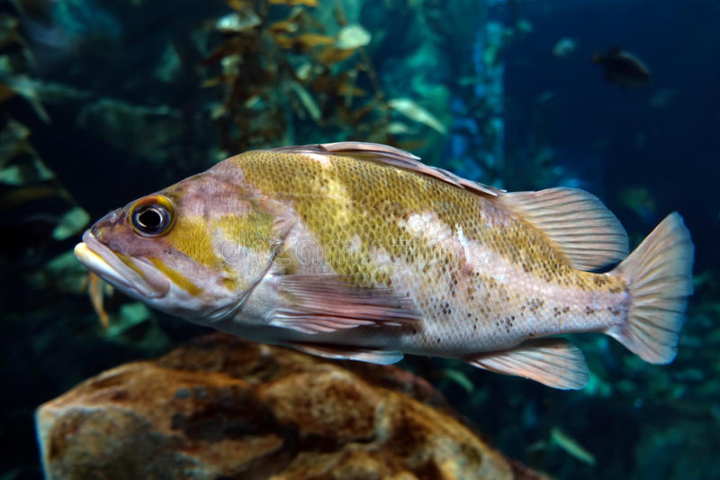 Largemouth bass Micropterus salmoides ,close up detail stock image