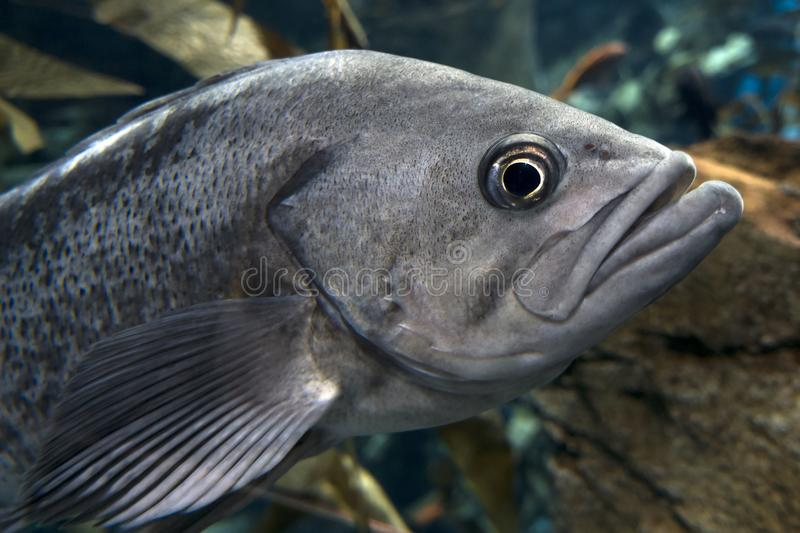 Largemouth bass Micropterus salmoides ,close up detail royalty free stock images
