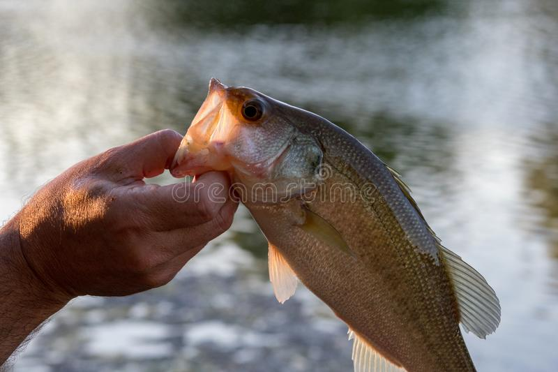 Largemouth bass in profile stock images