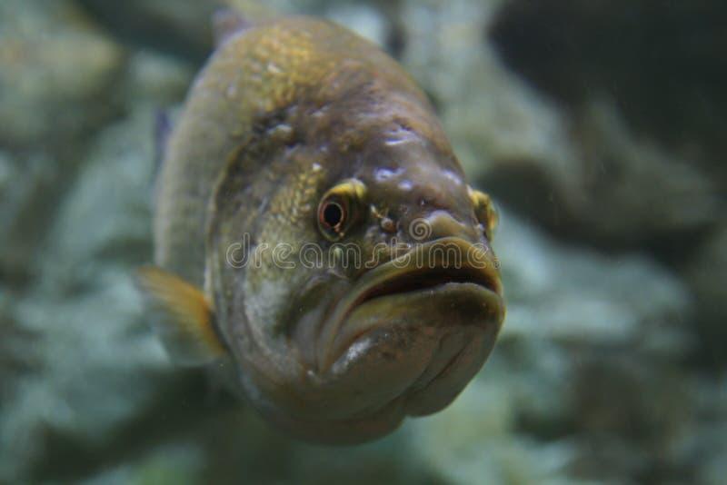 Largemouth bass underwater stock images