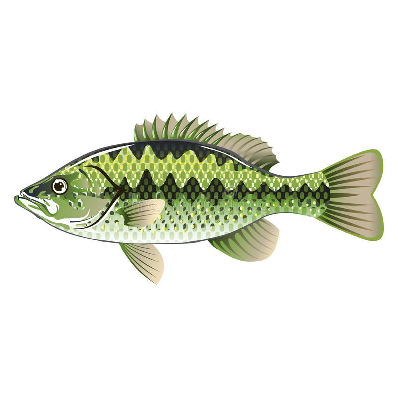 Largemouth Spotted Bass. Largemouth Spotted Green American Bass Vector stock illustration
