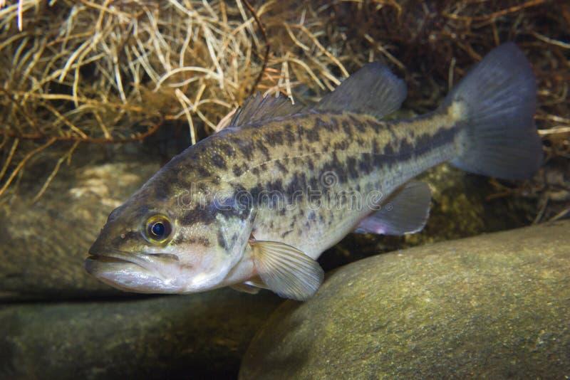 Largemouth undervattens- Bass Micropterus salmoidessötvattensfisk royaltyfri bild