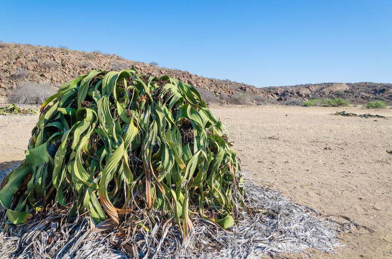 Largest known Welwitschia Mirabilis plant growing in the hot arid Namib Desert of Angola royalty free stock photography