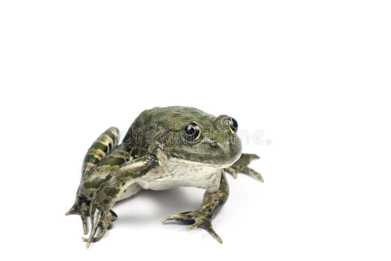 Largest lake brown frog with green spots. On a white background stock images
