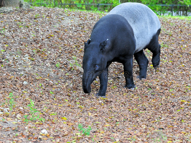 Largest Species of Tapir royalty free stock photo